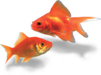 Gold Fish image