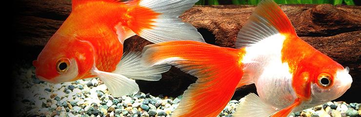 Hikari info : Hikari Goldfish Diets Pellet Size Guide