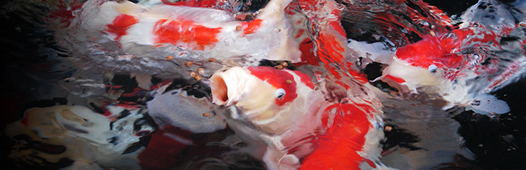 KOI FOOD / POND FOOD