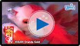 Oranda Gold