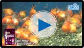 Saki-Hikari Fancy Goldfish